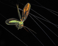 Adult Green Lacewings are pale green, soft bodied, insects about one inch long with shiny golden eyes.