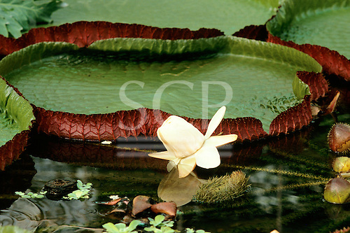 Amazon forest, Brazil. Victoria amazonica, the famous Victoria regia water lily capable of supporting a toddler's weight.