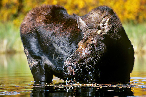 Cow Moose (Alces alces) feeding, Western U.S.