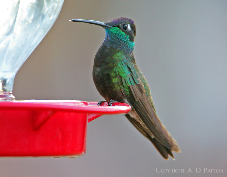Adult male magnificent hummingbird at feeder