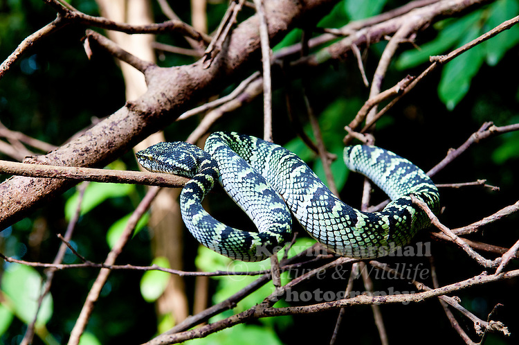 Wagler's Pit Viper is perhaps the most well-known of the green, arboreal pit vipers to be found in the region. This is a snake of primary forest, mature secondary forest and mangroves. It is active by night; by day it generally lays coiled high in the trees.<br /> Wagler's Pit Viper ranges from Southern Thailand, Peninsular Malaysia and Singapore to Borneo, Sumatra, Sulawesi and the more southerly islands of the Philippines.
