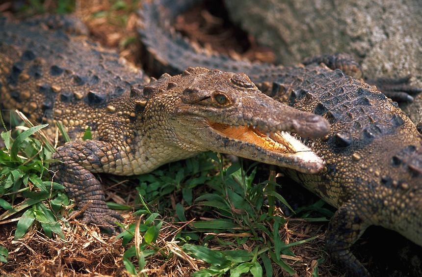 Alligator, Costa Rica