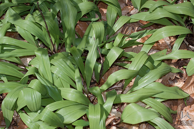 Patch of Ramps or Wide Leek in Staten Island