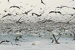 Seabirds feeding on Monterey Bay