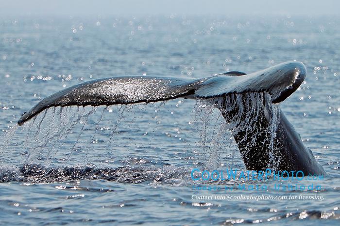 humpback whale, Megaptera novaeangliae, fluke up diving, Hawaii, USA, Pacific Ocean