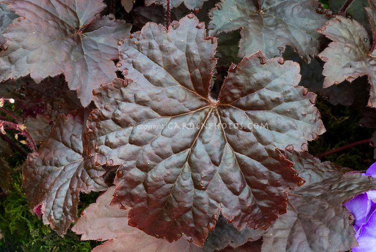 Heuchera 'Molly Bush' perennial foliage plant with dark purple-red leaves