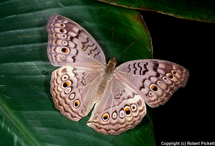 Grey Pansy Butterfly, Precis atlites, with wings open brown colour with eye spots.Thailand....