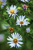 Michaelmas Daisy, Aster, Darnley Mill, Dams to Darnley Country Park, Darnley, Glasgow