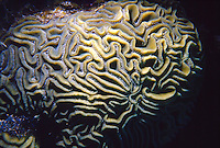 MARINE LIFE: REEFS<br /> Brain coral; Close-up shows texture<br /> Formed by a colony of genetically identical polyps which secrete a hard skeleton of calcium carbonate; this makes them important coral reef builders.