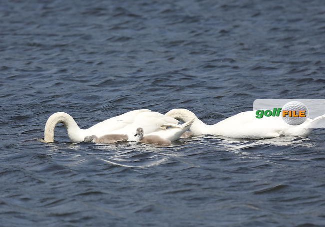 20 MAY 13 The swan family takes to the water during Mondays British Open Final Qualifier at Gleneagles Country Club in Plano, Texas. (photo:  kenneth e.dennis / kendennisphoto.com) www.golffile.ie