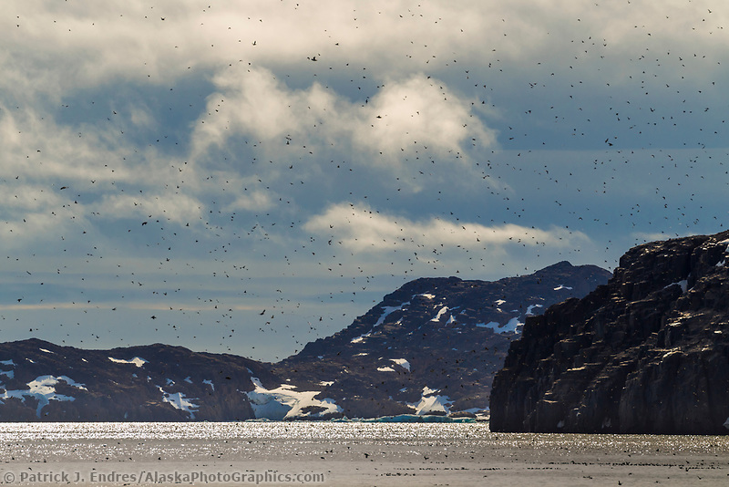 Birds on the cliffs of Alkefjellet, Svalbard