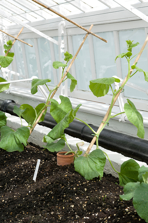 Glasshouse melons trained up sloping, vertical canes, In due course, the laterals or sideshoots will be supported on horizontal wires. Terracotta collars protect the stems from rot.
