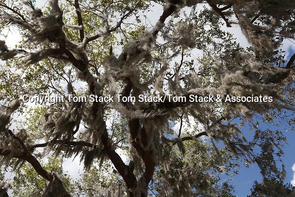 Spanish Moss at Crystal River National Wildlife Refuge, Florida