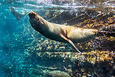 GALAPAGOS ISLANDS, ECUADOR, Isabela Island, Punta Vicente Roca, galapagos sea lion spotted while snorkeling in the waters off Isabela Island