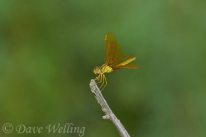 304570017 a wild female mexican amberwing perithemis intensa perches on a plant stem in yuma county arizona