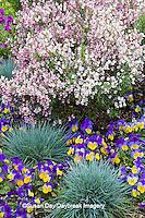 63821-22514 Blue Fescue grass (Festuca glauca 'Elijah Blue'), Viola (Viola 'Sorbet Yellow Frost'),  Lilac Time Broom (Cytisus x minstead 'Dilmoreii hybrids Lilac Time') Chicago Botanic Garden Glencoe, IL
