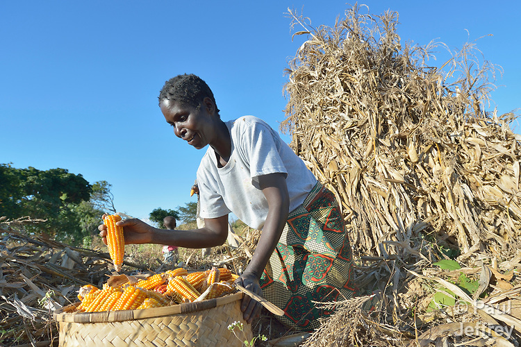 Modesta Munyayi harvests corn in Edundu, Malawi. She and other farmers in the village have benefited from intercropping and crop rotation practices they learned from the Malawi Farmer-to-Farmer Agro-Ecology project of the Ekwendeni Mission Hospital AIDS Program, a program of the Livingstonia Synod of the Church of Central Africa Presbyterian.