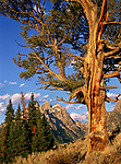 The Old Patriarch Tree stands proudly near the Cathedral Group peaks, Grand Teton National Park, Wyoming