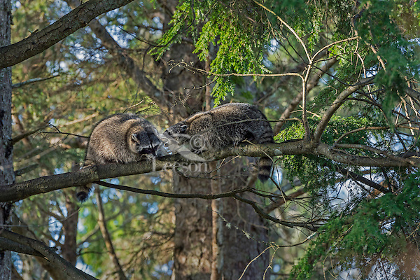 Raccoons (Procyon lotor) having disagreement on branch in hemlock tree.  Pacific Northwest.  Fall.