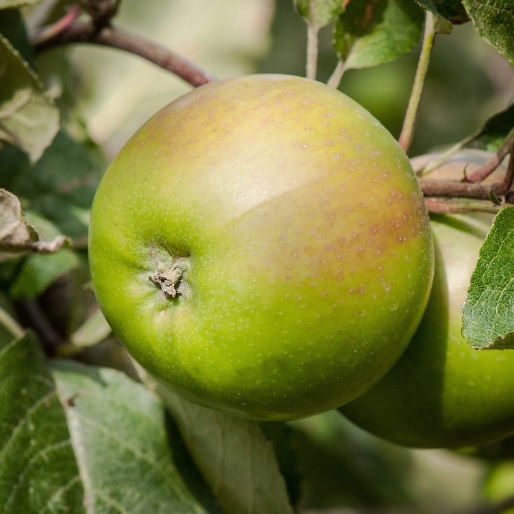 Apple 'Green Harvey', late September. An English dual-purpose culinary-dessert apple. Its origin is unknown, though it has been grown around Wisbech in Cambridgeshire since early in the 20th century.