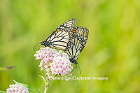 03536-05515 Monarch Butterflies (Danus plexippus) male and female mating on Swamp Milkweed (Asclepias incarnata), Marion Co.,  IL