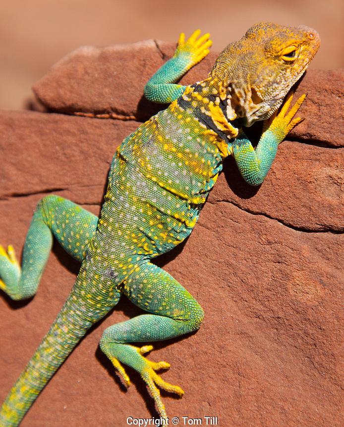 Collared lizard, Crotaphytus collaris, Colroado Plateau, Utah