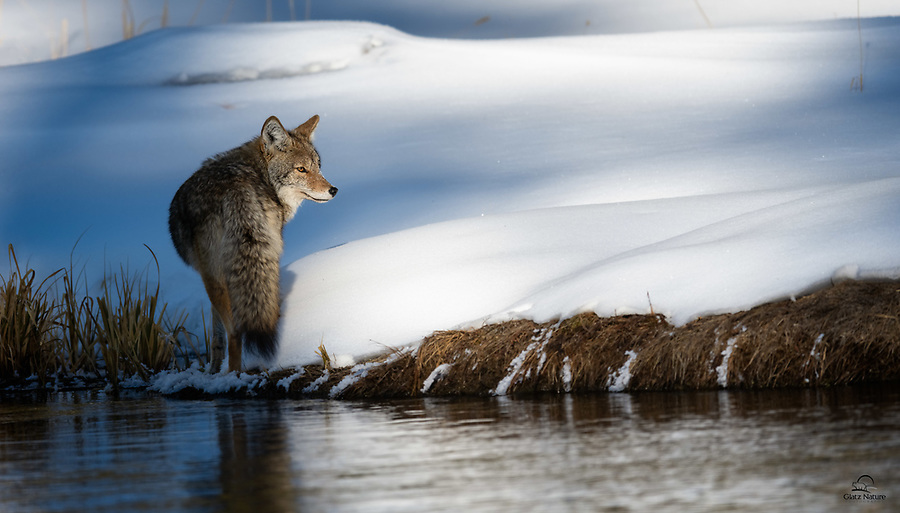 Female Coyote (Canis latrans) checks her 6 o'clock (the position behind her) before slinking off into the shadows along the bank of the Madison River.