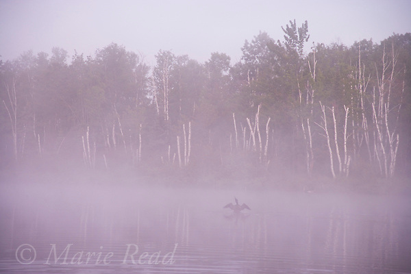 Common Loon (Gavia immer), flapping its wings on a misty lake, Michigan, USA