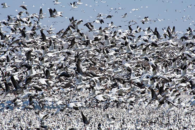 Hundreds of snow geese take-off from the Platte River in Nebraska.
