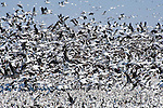 Hundreds of snow geese take-off from the Platte River in Nebraska.