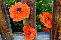 Red poppies and weathered fence. Joseph, Oregon