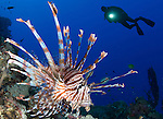 Common lionfish: Pterois volitans, with diver and torch in background, Solomon Islands
