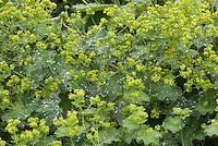 Alchemilla mollis 'Robustica' Lady's mantle in flower