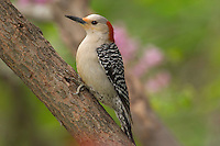 Female Red-bellied Woodpecker (Melanerpes carolinus) in redbud tree.  Eastern U.S., Spring.