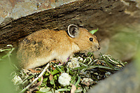 Pika (Ochotona princeps) at haypile it collects and dries for winter use.  Summer..Pacific Northwest