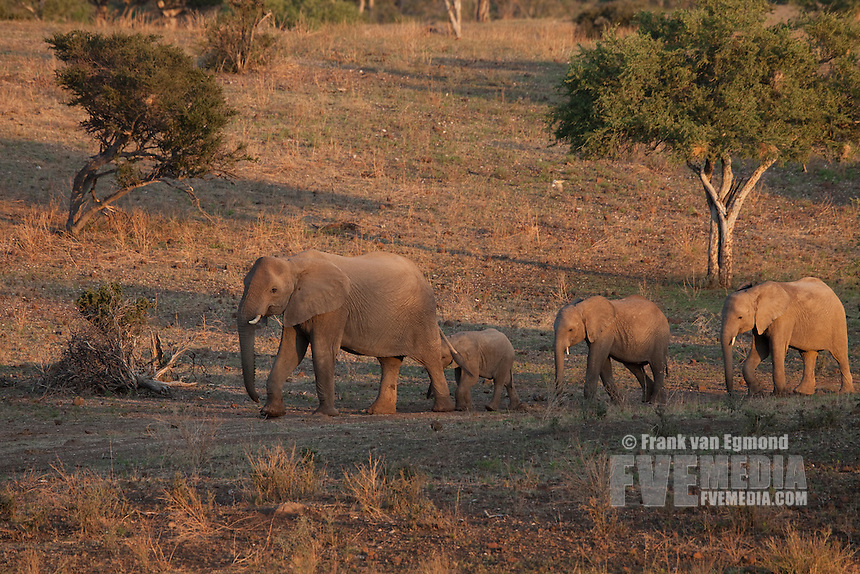 African Elephant herd (Loxodonta africana). Vulnerable species...The elephant herds at Mashatu often walk in a single colum and use the paths frequentyly, creating 'elephant highways'...Mashatu Game Reserve..Tuli block, Botswana..November 2010.