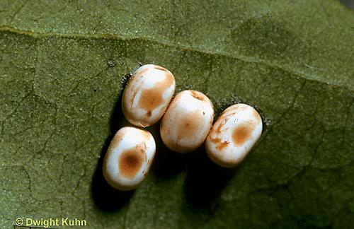 LE26-061a  Cecropia Moth - eggs on leaf - Hyalophora cecropia