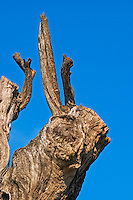 Old Tree looking like an abstract animal at the Olive oil mill Moulin du Calanquet de Saint St Remy de Provence, Bouche du Rhone, France