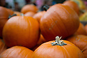 London, UK. 25.10.2014. Uncarved, pumpkins for sale, ready for Hallowe'en, on a stall at Borough Market, Southwark. Photograph © Jane Hobson.