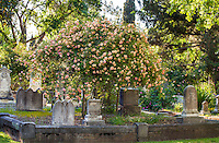 'Fortune's Double Yellow', climbing tea old heirloom rose flowering in Sacramento Old City Cemetery