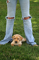 Yellow Labrador Puppy Resting Between Tween's Legs