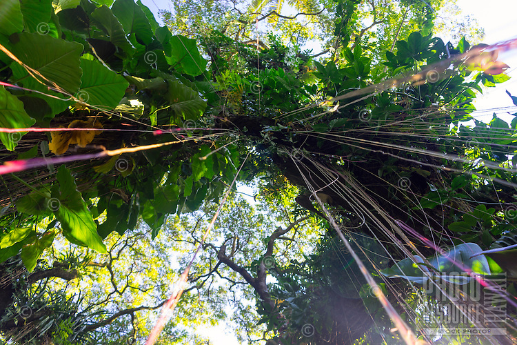 Looking up at a banyan tree in a botanical garden, Island of Hawai'i.