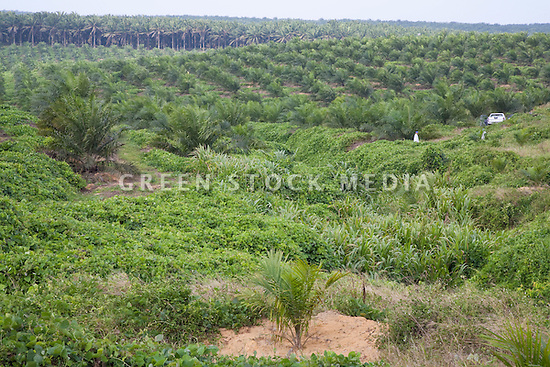 A view of newly planted oil palm in foreground with three year old trees in middle ground and mature trees in background. The Sindora Palm Oil Plantation, owned by Kulim, is green certified by the Roundtable on Sustainable Palm Oil (RSPO) for its environmental, economic, and socially sustainable practices. Johor Bahru, Malaysia
