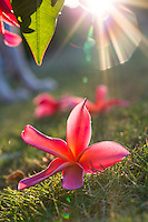 A close-up of backlit pink plumerias on green grass, O'ahu.