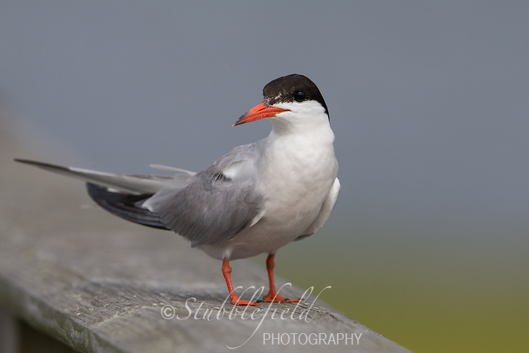 Forster's Tern (Sterna forsteri), adult in breeding plumage resting on a bridge at the Oceanside Marine Nature Study Area in Hempstead, New York.