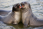 Southern Elephant Seal, South Georgia Island, UK