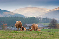 Jersey cows grazing in autumn with Lancashire Fells behind, Dunsop Bridge.