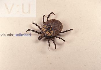 Adult gopher tortoise tick, Amblyomma tuberculatum.