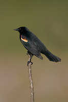 Red-winged Blackbird (Agelaius phoeniceus) - Male perching