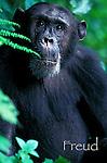 Freud, former alpha male<br /> Eastern Chimpanzee male, Pan troglodytes schweinfurthii<br /> Africa, East Africa, Tanzania, Gombe National Park
